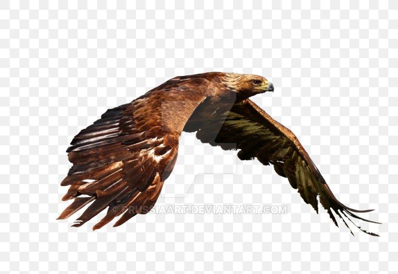 Bird Golden Eagle Bald Eagle Desktop Wallpaper Png 800x566px 4k Resolution Bird Accipitriformes Bald Eagle Beak