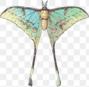 Butterfly - Butterfly Insect Luna Moth Comet Moth PNG