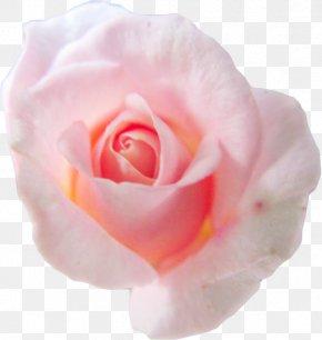 Pink Background - Centifolia Roses Flower Pink Petal Garden Roses PNG