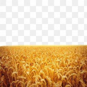 Beautiful Rice Fields - Sunset Stock Photography Fukei PNG