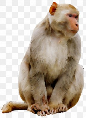 Macaque Monkey Clip Art Mandrill Primate PNG