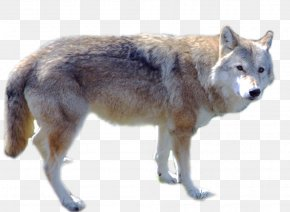 Wolf - Gray Wolf PNG