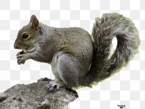 Squirrel - Red Squirrel Rodent Wildlife Eastern Gray Squirrel PNG