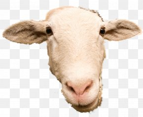 Sheep - Scottish Blackface Goat Cattle Caprinae PNG