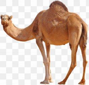 Camel - Dromedary Bactrian Camel PNG