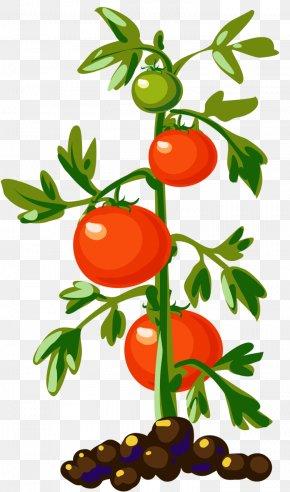Pot Plant - Vegetable Cherry Tomato Plant Clip Art PNG
