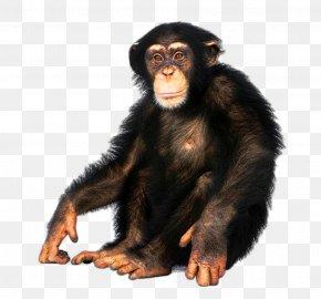 Chimpanzee - Japanese Macaque Common Chimpanzee Bonobo Ape Bornean Orangutan PNG