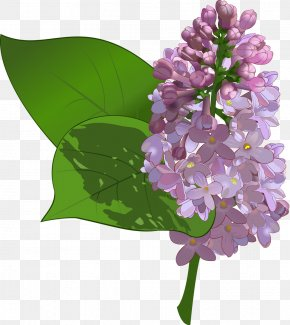 Lilac - Common Lilac Flower Purple Clip Art PNG