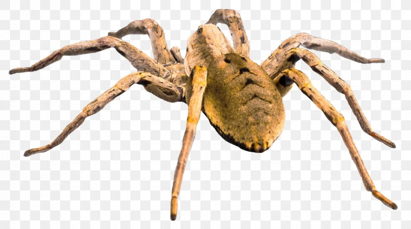 Wolf Spider Png 1676x935px Spider Animal Arachnid