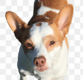 Miniature Fox Terrier Dog Breed Rat Terrier Tenterfield Terrier Los Gatos PNG