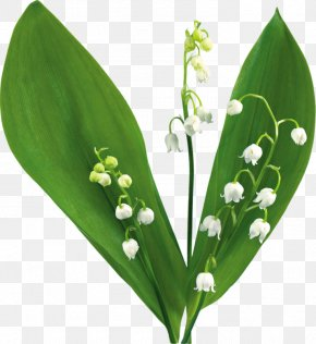 Lily Of The Valley - Lily Of The Valley Desktop Wallpaper Clip Art PNG