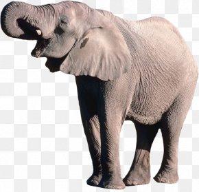 Elephant - African Bush Elephant Borneo Elephant PNG