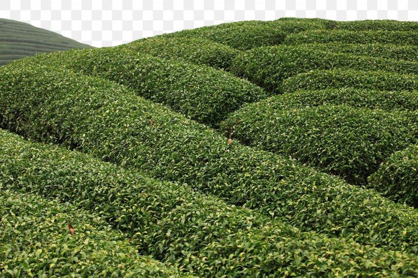 Assam Tea Green Tea Camellia Sinensis Tea Garden, PNG, 1024x683px, Tea, Agriculture, Assam Tea, Biome, Camellia Sinensis Download Free