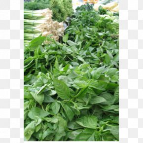 Plant - Herb Gardens Medicinal Plants Parsley PNG