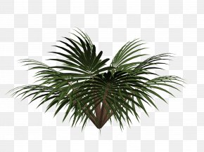 Free Cycads Pull Material - Sago Palm Cycad Tree PNG