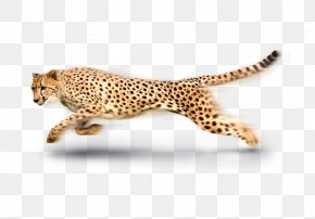 African Cheetah - South African Cheetah Leopard Tiger PNG