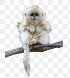 Free Buckle Material Monkey Picture - Tonkin Snub-nosed Monkey Primate Black Snub-nosed Monkey Dog PNG