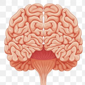 Vector Human Brain - Human Brain Euclidean Vector Illustration PNG