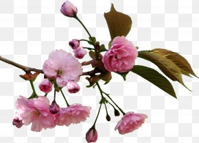 Cherry Blossom - Cherry Blossom Flower Information Drawing Clip Art PNG