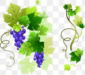 Grape Vine Vector Material - Common Grape Vine Grape Leaves Clip Art PNG