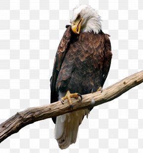 Eagle On Branch Picture - Eagle Bitmap Computer File PNG