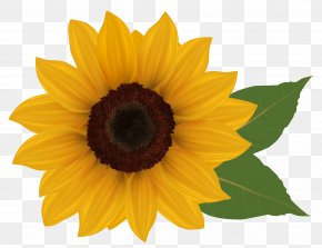 Sunflower Clipart Picture - Common Sunflower Download Clip Art PNG