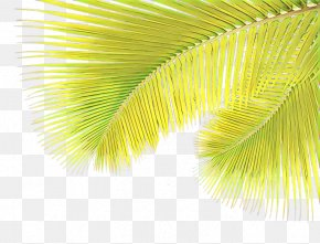 Palm Tree Arecales - Palm Tree Background PNG