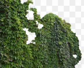 Green Wall Tiger - Parthenocissus Tricuspidata Virginia Creeper Common Ivy Vine Green PNG
