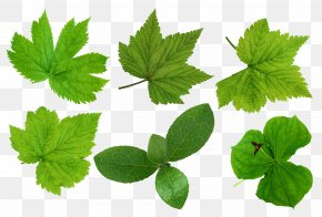 Green Leaves Picture - Green Leaves Leaf PNG