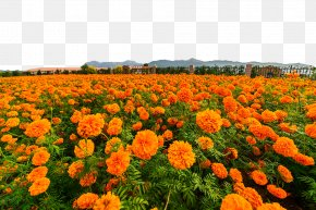 Marigold Flower Sea - Mexican Marigold Calendula Officinalis Flower PNG