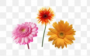 Sunflower - Transvaal Daisy Common Daisy Free Content Clip Art PNG