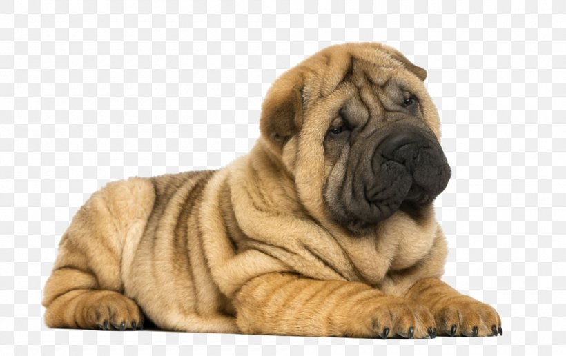 Miniature Shar Pei Puppy Dog Breed Png