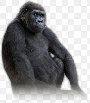 Apes And Monkeys - Western Gorilla Common Chimpanzee United States Virunga National Park Volcanoes National Park PNG