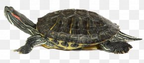 Turtle - Box Turtle Common Snapping Turtle Tortoise Sea Turtle PNG