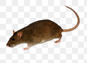 Mouse, Rat Image - Brown Rat Rodent Mouse Black Rat Pest Control PNG
