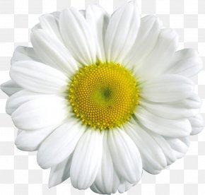 Daisy Flower Cliparts - Common Daisy Clip Art PNG