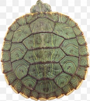 Turtle - Yellow-headed Box Turtle Reptile Red-eared Slider Chinese Box Turtle PNG