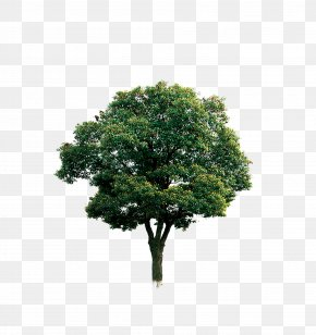 Tree - Tree Branch Computer File PNG