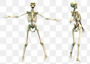 Skeleton Image - Human Skeleton Bone PNG
