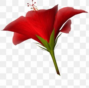 Hibiscus Flower - Cut Flowers Tulip Clip Art PNG