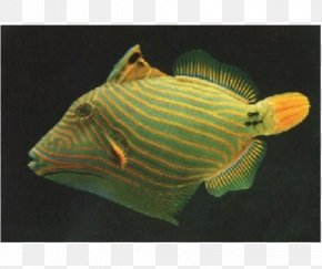Seawater Fish - Orange-lined Triggerfish Lagoon Triggerfish Clown Triggerfish Angelfish PNG