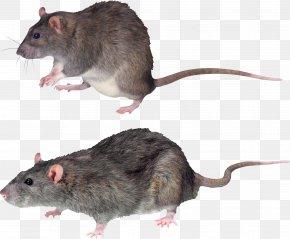 Mouse, Rat Image - Brown Rat Rodent Summit Rat Black Rat PNG