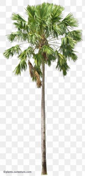 Tree - Asian Palmyra Palm Arecaceae Saribus Rotundifolius Livistona Areca Palm PNG