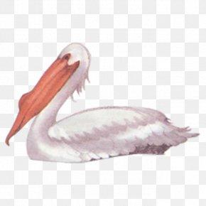 Swan - Bird Pelican Black Swan PNG