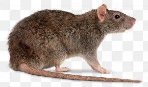 Rat File - Brown Rat Mouse Clip Art PNG