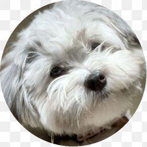 Puppy - Maltese Dog Havanese Dog Coton De Tulear Little Lion Dog Bolonka PNG