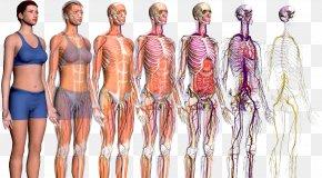 Atlas And Textbook Of Human Anatomy - Human Body ZygoteBody Anatomy Homo Sapiens Explorers To The New World PNG