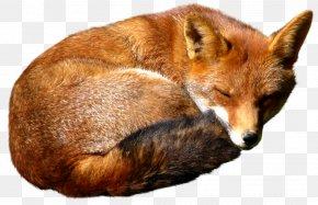 Fox - Red Fox PNG