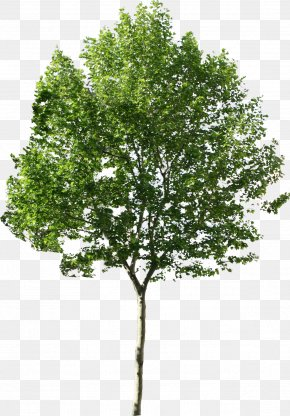Tree Available In Different Size - Tree PNG