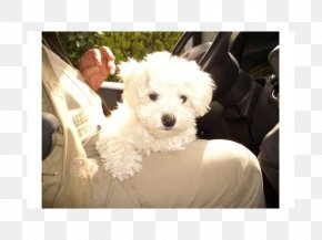 Puppy - Maltese Dog Bichon Frise Bolognese Dog Havanese Dog Coton De Tulear PNG